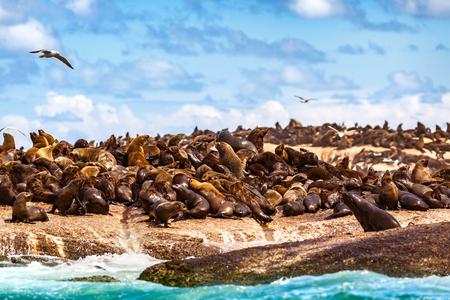 Wilde zeeleeuwen aan de stenige kust, schattige mooie dieren, kolonie zeehonden, safarireizen, Hout Bay Seal Island, schoonheid van Zuid-Afrika