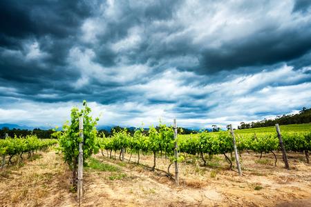 美しいブドウ園の景色、新鮮な緑のブドウ畑、上南アフリカ共和国の大きなブドウ谷の絶景どんよりした曇り空