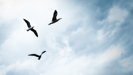 Three seagulls in the sky, beautiful birds family flying away, natural sky background with copy space, freedom concept