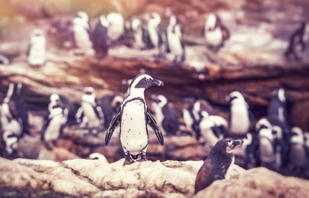 penguins on beach: Big family of penguins, many cute little animals on the rocks, flightless birds on the stony bank of Atlantic Ocean, beautiful nature of a South Africa