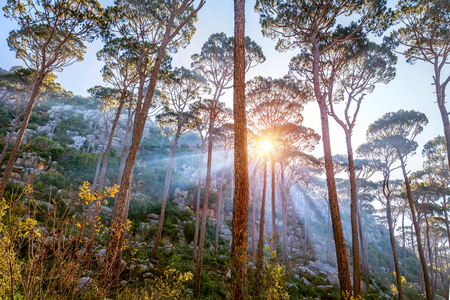 Beautiful forest landscape, sun beams break through majestic pine trees trunks, amazing wild nature, wonderful tranquil view Banco de Imagens