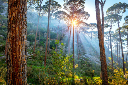 Beautiful pine forest, amazing landscape of mountainous woodland, bright rays of a morning sun break through trees trunks, beauty of wild nature