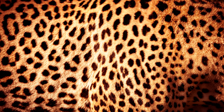 아름다운 표범 피부 배경, 검은 반점이있는 천연 오렌지 모피, 아프리카 야생 동물의 피부 패턴