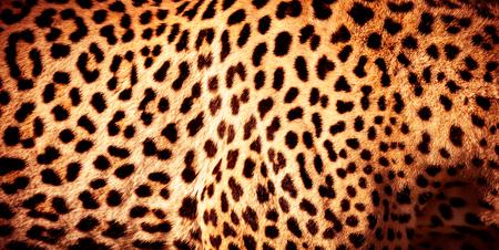 Beautiful leopard skin background, natural orange fur with black spots, wild African animal skin pattern
