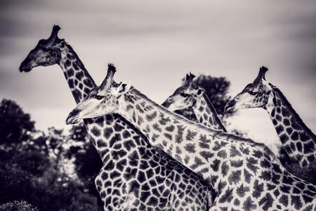 サファリ、豪華な大きな動物、野生動物の写真の白黒写真、南アフリカ共和国のエキゾチックな自然、美しいキリン家族の肖像 写真素材