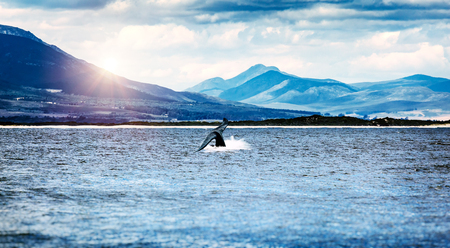 Whale tail in the Atlantic ocean over mountains background, wild animals safari, beautiful nature of the Hermanus city, South Africa Standard-Bild