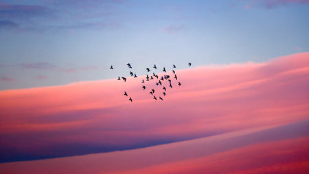 Birds migration, silhouette of a flock of birds over beautiful pink sunset sky background, wild birds flying to the warm countries