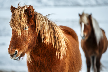 Portrait of a beautiful Icelandic horses, pair of a gorgeous animals in the winter outdoors, eco tourism, beauty of Icelandic fauna   Stock Photo