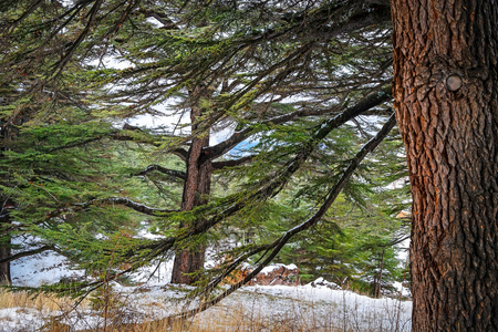 The Cedars of God, natural reserve of one of the last vestiges of the extensive forests of the Lebanon Cedar, beautiful landscape of a majestic big trees, endangered plants species