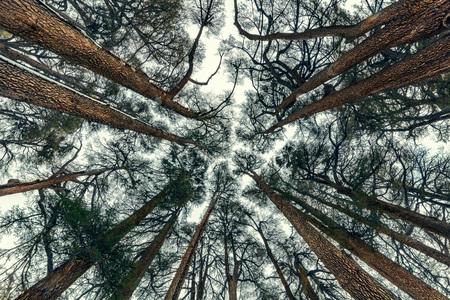 Foresta di alberi di cedri, bellissimo sfondo naturale, foresta in via di estinzione, I cedri di Dio, Cedars Mountain, incredibile natura del Libano Archivio Fotografico - 93799373