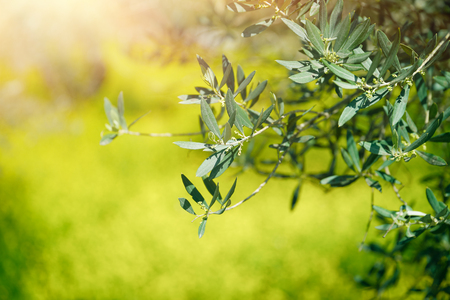 Fresh green olive tree branches over bokeh grass background in sunny day, agricultural culture, olives production, beauty of Mediterranean countryside Zdjęcie Seryjne
