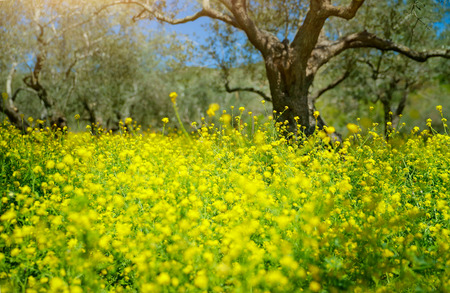 Beautiful spring garden, olive trees growing among little yellow colza flowers, fresh floral meadow in fruits garden, produce of organic food on Mediterranean farmland
