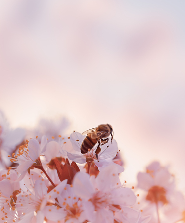 Little bee on the blooming cherry tree, abstract natural border, hard work of the little insect, pollination of fruit trees and natural production of honey, beauty of spring season
