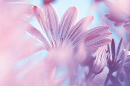 Dreamy floral background, fine art, soft focus photo of a beautiful gentle pink daisy flowers, beauty of wild chamomiles, amazing nature of spring season