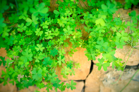 Conceptual image of finding your way through hard times, the clover has sprouted through the crack in the stone wall, hope and thirst for life