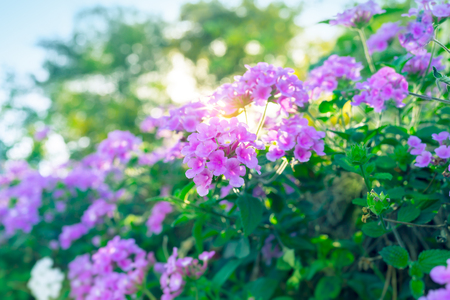 Beautiful purple flowers on the bush, abstract natural background, beauty of floral garden blooming, spring time season, rebirth of nature after long winter  Фото со стока