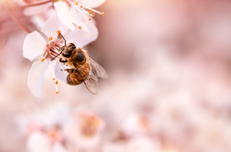 Closeup photo of little bee pollinating blooming cherry tree, insect sitting on gentle white flowers over pink blurry background, spring season concept  Imagens