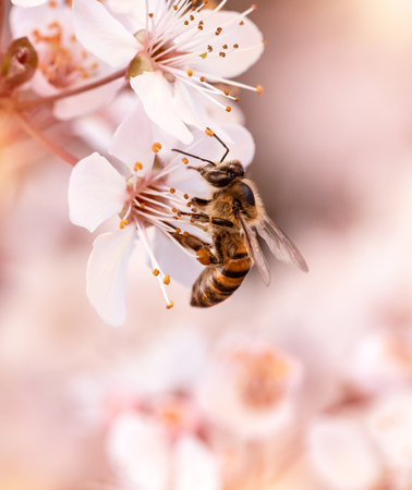 Closeup photo of a little bee pollinate cherry tree flowers,  insect sits on gentle white flowers over blurry background, beauty of spring nature  Imagens