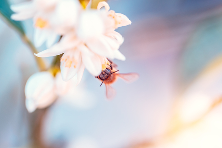 Little bee pollinates mandarin flowers, cute little insect sitting on white gentle flowers, abstract natural background, beauty of spring nature Фото со стока - 107953483