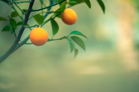Orange tree branch on natural blurry background, ripe tasty orange fruits hanging on the tree, healthy organic nutrition, summer harvest season Stock fotó