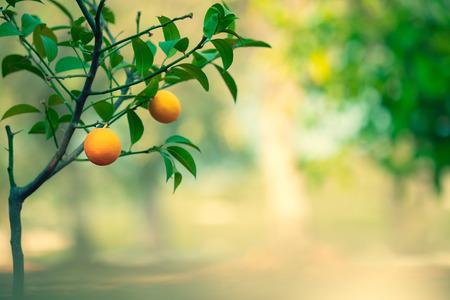 Orange tree garden, fresh green tree with little orange fruits on blurry background, summer time, harvest season