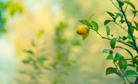 Lemon trees garden, little ripe yellow fruit hanging on the tree branch over blurry background, harvest time in the orchard, autumn season concept