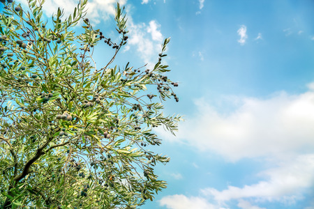 Olive tree over blue sky background, abstract natural border, agricultural landscape, olive oil production, autumn harvest season concept Stock Photo