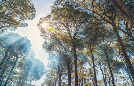 Giant old pine trees background, fresh sunny day in autumn, sun rays make their way through the crowns of the trees, beautiful wild nature, bottom up view