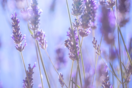 Gentle lavender flowers, little tender purple wildflowers on the field, abstract floral wallpaper, fresh and beauty of summer nature Stock Photo