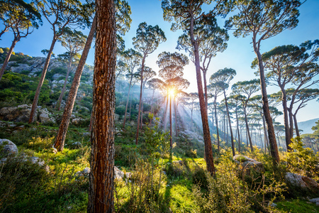 Beautiful sunny day in the forest, amazing landscape of a great majestic pine trees, suns rays make their way between the trunks 写真素材