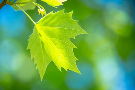 Fresh green grape leaf over blurry background, freshness of a spring nature, vineyard in bright sunny day, winery farm 版權商用圖片