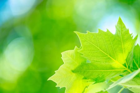 Fresh green maple leaf, abstract natural background, bokeh backdrop, freshness of garden in spring season