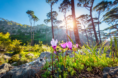 Beautiful landscape of a mountainous cedar forest, first spring wildflowers in bright sun light, beauty of wild nature, Lebanon Stok Fotoğraf