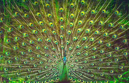 Amazing peacock tail, beautiful colorful bird feathers, abstract natural background, beauty of a wild animals