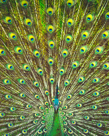 Amazing beauty of a peacock's feather tail, beautiful colorful bird, abstract natural background, beauty of a wild animals