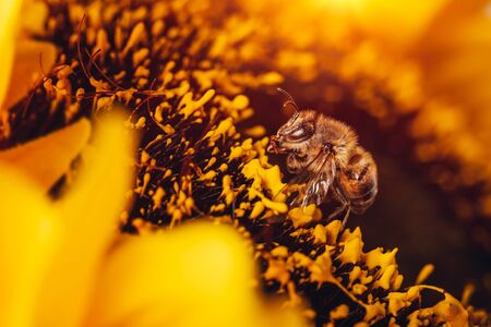 Closeup photo of a bee sitting on sunflower, small insect pollinating big bright flower, making natural honey