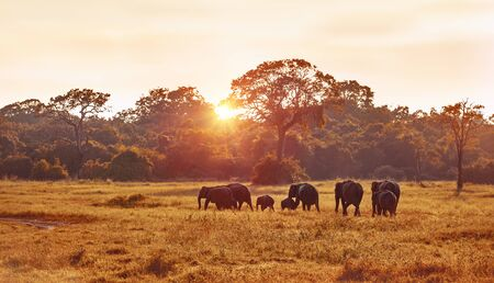 Safari, wild elephant family grazing on great grass field at the evening in mild sunset light, wildlife photography, beautiful nature of Sri Lanka 스톡 콘텐츠