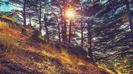 Cedars of God, beautiful landscape of a cedars tree forest in the mountain