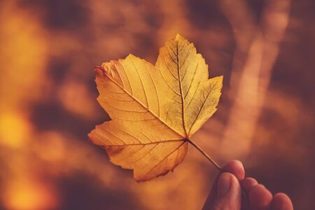 Closeup  of a beautiful yellow maple leaf in human hand over autumnal bokeh