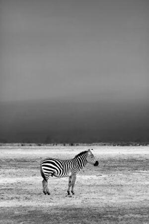 African Wild Zebra, Kenya, Amboseli national park, black and white photo, safari travel Stock Photo