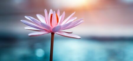 Closeup Photo of a Beautiful Pink Lotus Flower. Gentle Exotic Flower. Water Lily. Floral Background.