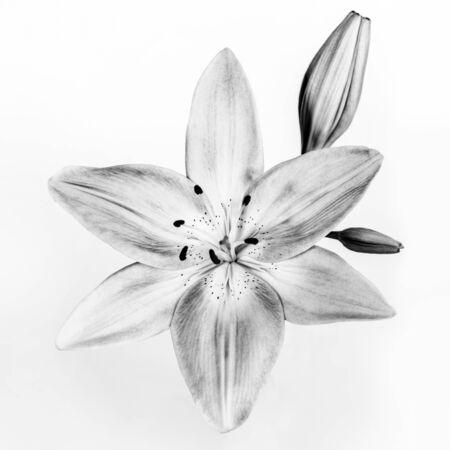 Gentle Lily Flower Isolated on White Background. Black and White Photo. Stylish Invitation Card. Reklamní fotografie