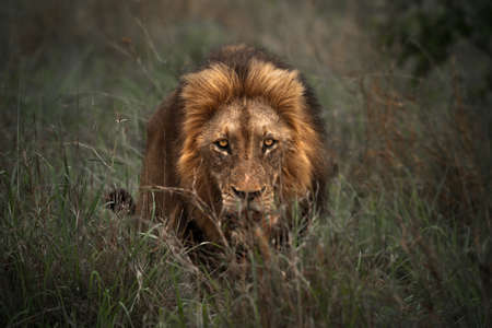 Portrait of a Large, Handsome Lion Lurking in the Grass and Tracking Down its Prey. King of Beasts. Safari. Wildlife of South Africa.