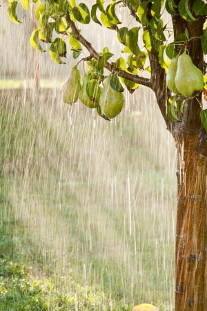Pears on a tree branch closeup in orchard during summer rain photo