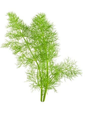 fennel: wild fennel close up on white