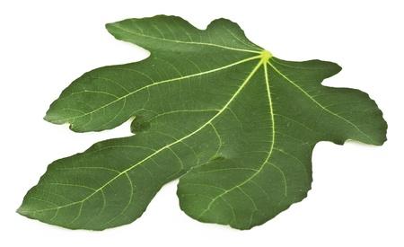 feuille de vigne: De feuilles de figuier isolé sur un fond blanc