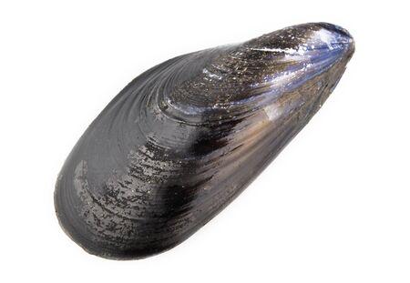fresh mussel isolated on white background photo