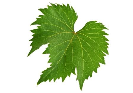 leaf grape: Grape Leaf en el fondo blanco Foto de archivo