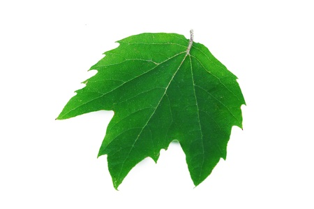 London plane (Platanus acerifolia) leaf photo
