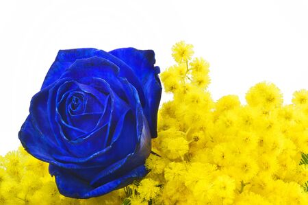 Blue rose and mimosa close up on white background photo